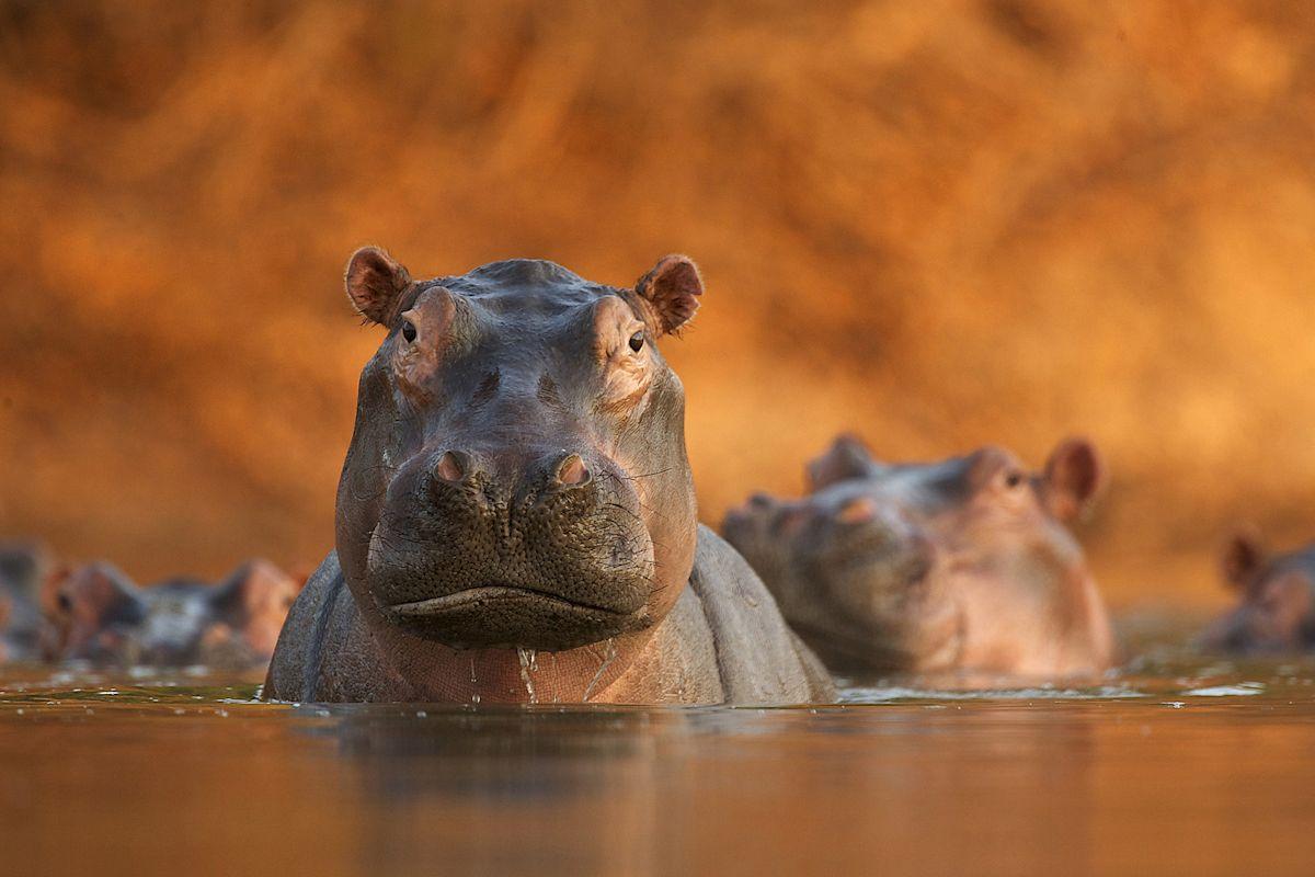 """Fot. C. David Fettes, """"Rozlewisko hipopotamów"""", Wielka Brytania (źródło: materiał prasowy)"""