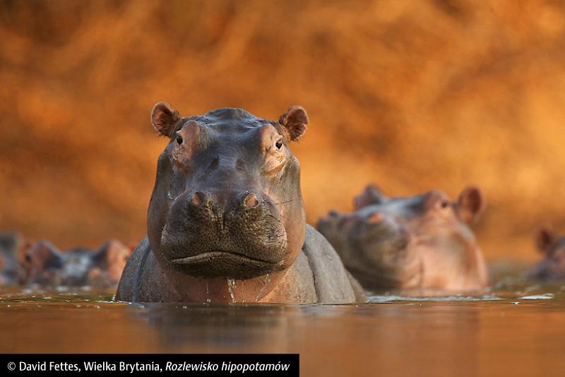 """David Fettes, """"Rozlewisko hipopotamów"""", Wielka Brytania (źródło: materiał prasowy)"""