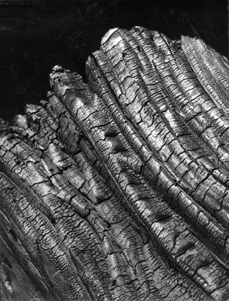 """Stefan Arczyński, z cyklu """"Drzewa"""", San Bernardino, 1960 (źródło: materiały prasowe organizatora)"""