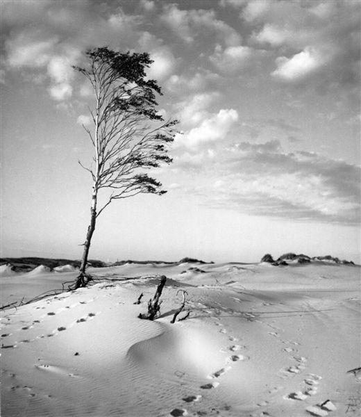 """Stefan Arczyński, z cyklu """"Drzewa"""", Łeba, 1956 (źródło: materiały prasowe organizatora)"""