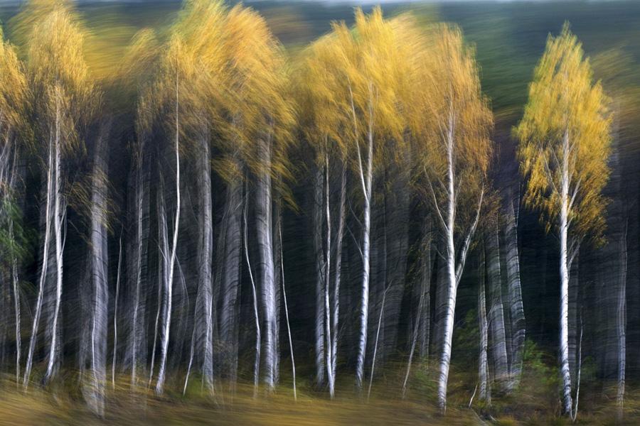 """""""Fotografia dzikiej przyrody 2012"""" Galeria Bielska BWA, Bielsko-Biała, 6–28 kwietnia 2013 © Cezariusz Andrejczuk, Polska, Tanczące brzozy"""