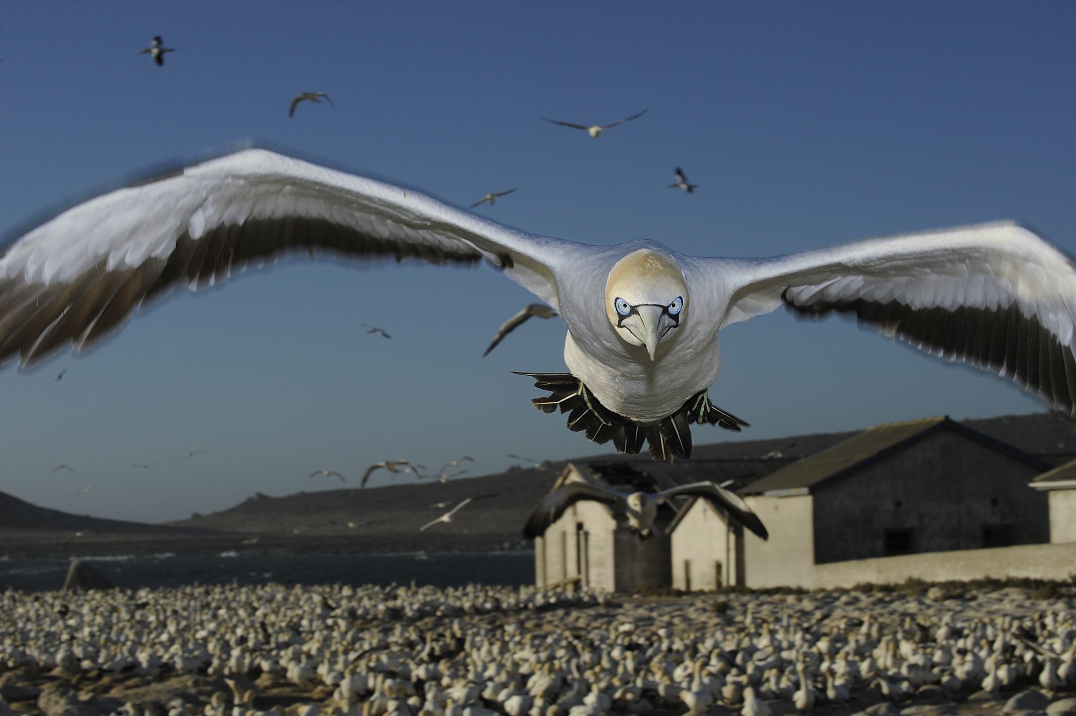 "1. nagroda w kategorii Natura - zdjęcie pojedyncze: Thomas P. Peschak, Germany/South Africa, Save Our Seas Foundation ""Cape Gannet comes to land, Malgas Island, South Africa"""
