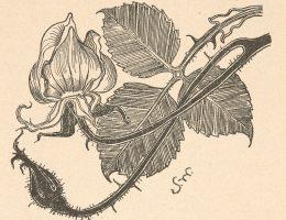 Stanisław Wyspiański, Róża rzucona w skos. Życie: tygodnik illustrowany, literacko-artystyczny, społeczny i naukowy, Rok 2, 1898, nr 42