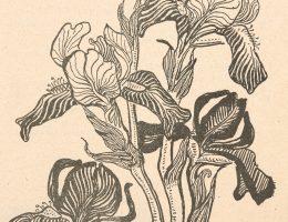 """Stanisław Wyspiański, Kosaciec: cztery kwiaty rozwinięte i pąk. """"Życie: tygodnik illustrowany, literacko-artystyczny, społeczny i naukowy"""", Rok 2, 1898, nr 44"""